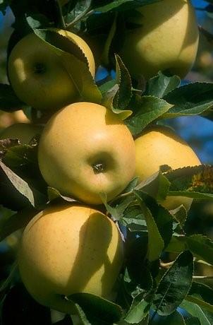 """""""Sensorisk profilering af kryokoncentreret mousserende æblevin"""""""